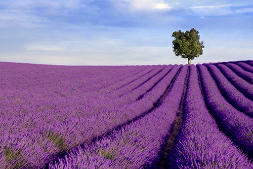 Les champs de lavande de Provence à Valensole - photographe professionnel 04, 84