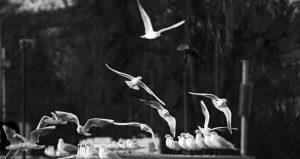 Photographie nature N&B - Un perturbateur dans les rangs