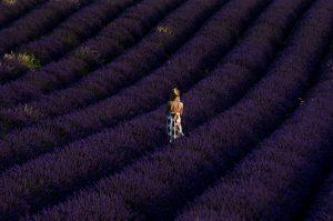 Photographie Nature - Les lavandes en diagonale