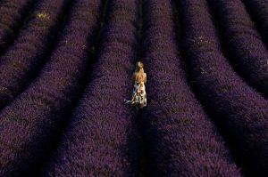 Photographie Nature - les sillons de lavande