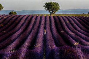 Photographie - Purple atmosphere - Les lavandes de Provence - Portrait - Nature ACTU PHOTO
