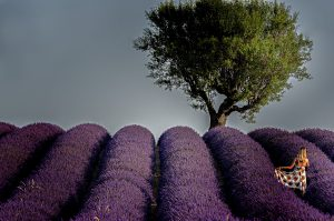 Photographie - Purple atmosphere - Les lavandes de Provence - Portrait - Nature ACTU PHOTO - David-Alexandre Vianey